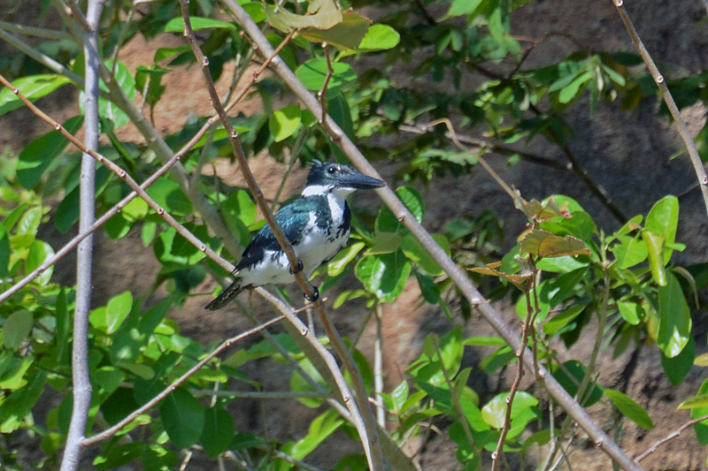 Amazon Kingfisher Chloroceryle amazona