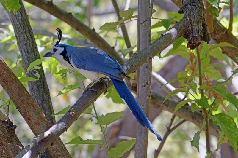 White-throated Magpie-jay Calocitta formosa