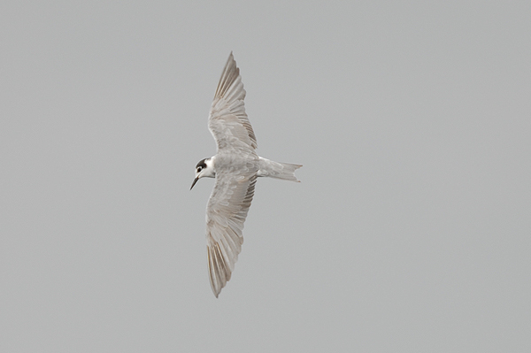 moulting adult Black Tern photo