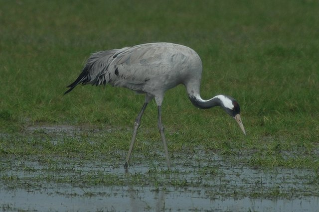 common crane cropredy, oxfordshire
