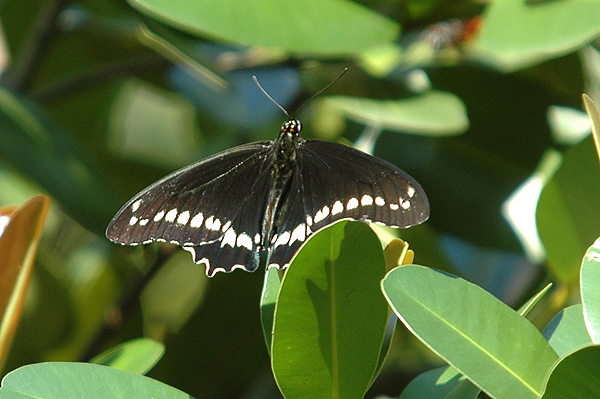 Polydamas Swallowtail Butterfly