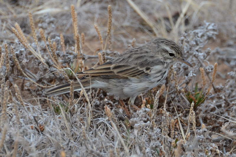Berthelot's Pipit Anthus berthelotii madaerensis