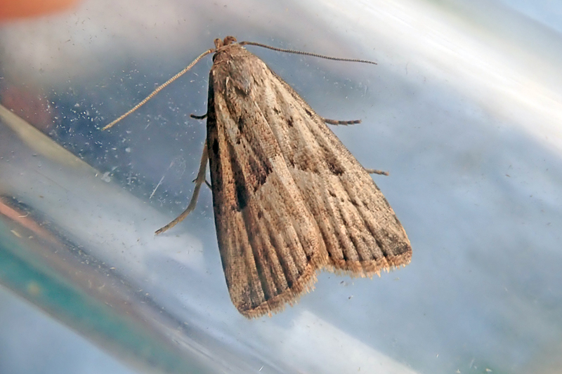 Marsh Oblique-barred