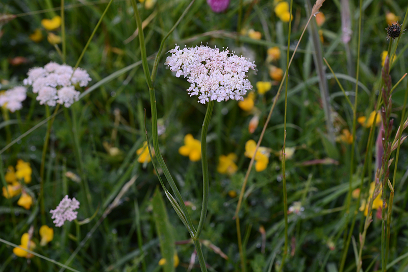 Corky-fruited Water-dropwort Oenanthe pimpinelloides