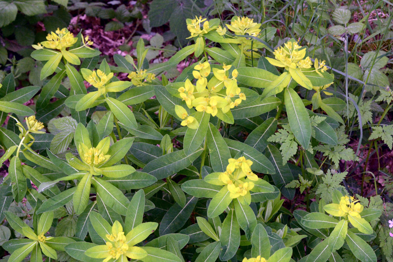 Irish spurge Euphorbia hyberna