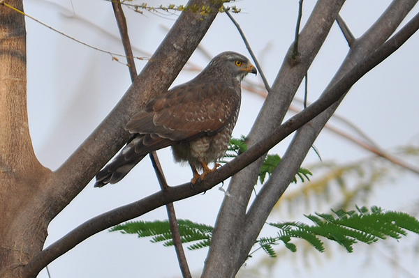 Grey-faced Buzzard