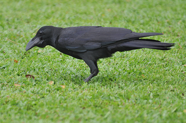 Long-billed Crow