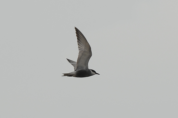 Photo of Whiskered Tern