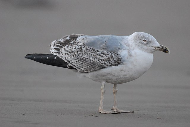 second winter yellow-legged gull?