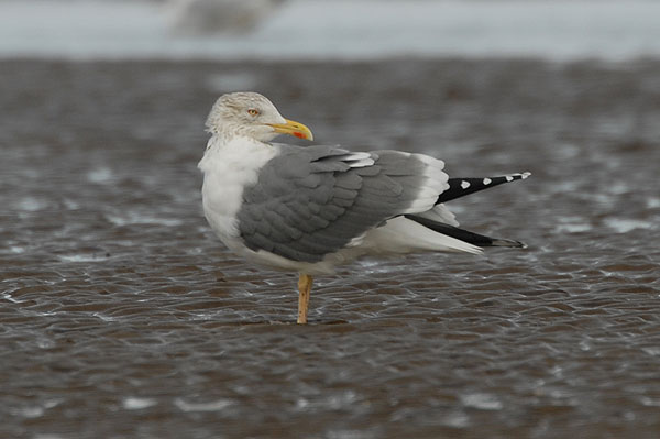 adult yellow-legged gull